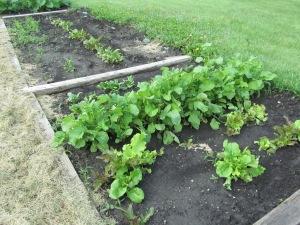 lettuce area